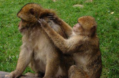 Klatsch und Tratsch Lausende Affen