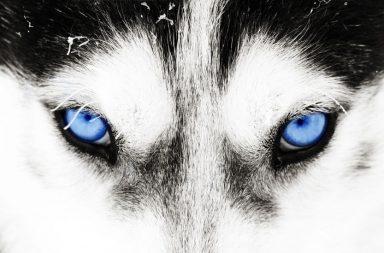 Story-Todsünde Husky Augen