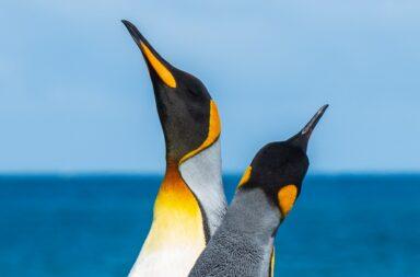 Pinguine: eine geniale Effizienz-Metapher